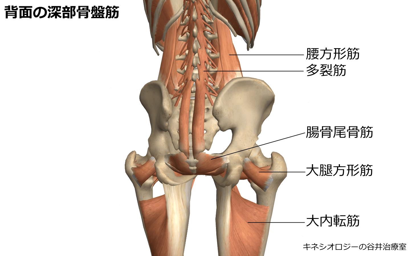 背面の深部骨盤筋肉